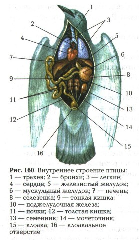 Строение голубя головной мозг птицы